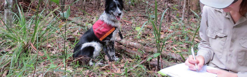 Surveying Koala health in Noosa Biosphere Reserve