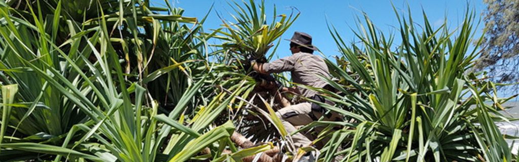 Protecting Noosa's Pandanus with science, collaboration and action