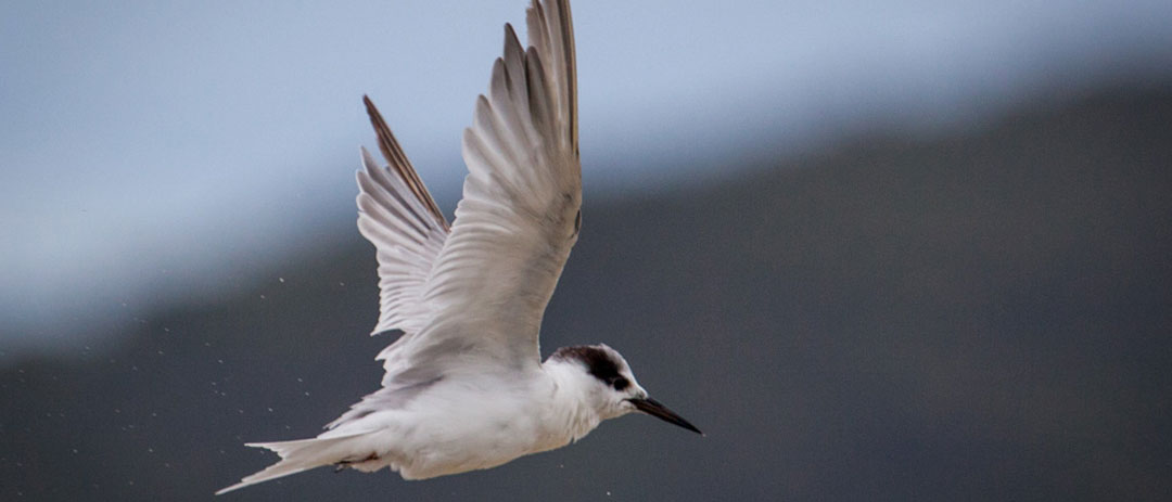 Migratory Seabird