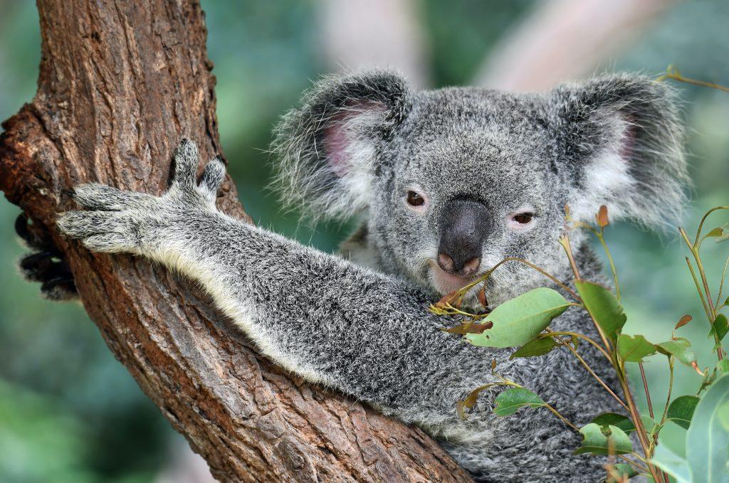 a koala i